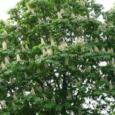 Каштан (цветы)